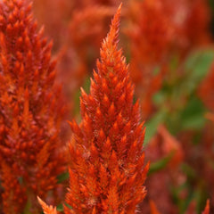 Celosia Orange  9 pack - IN STORE PICK-UP ONLY