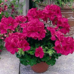 Geranium Zonal Neon Violet - IN STORE PICK-UP ONLY