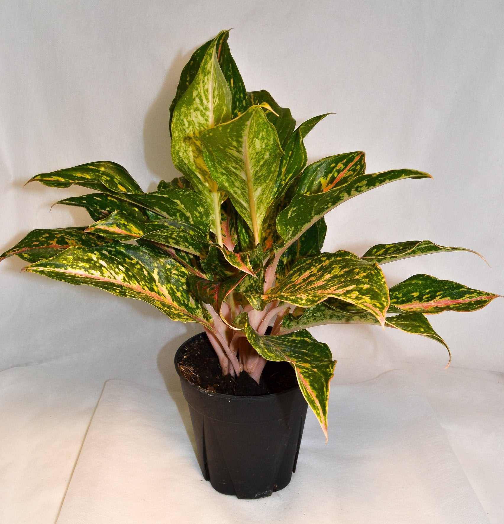 Aglaonema Select Rose