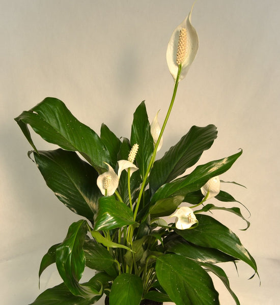Spathiphyllum Peacelily