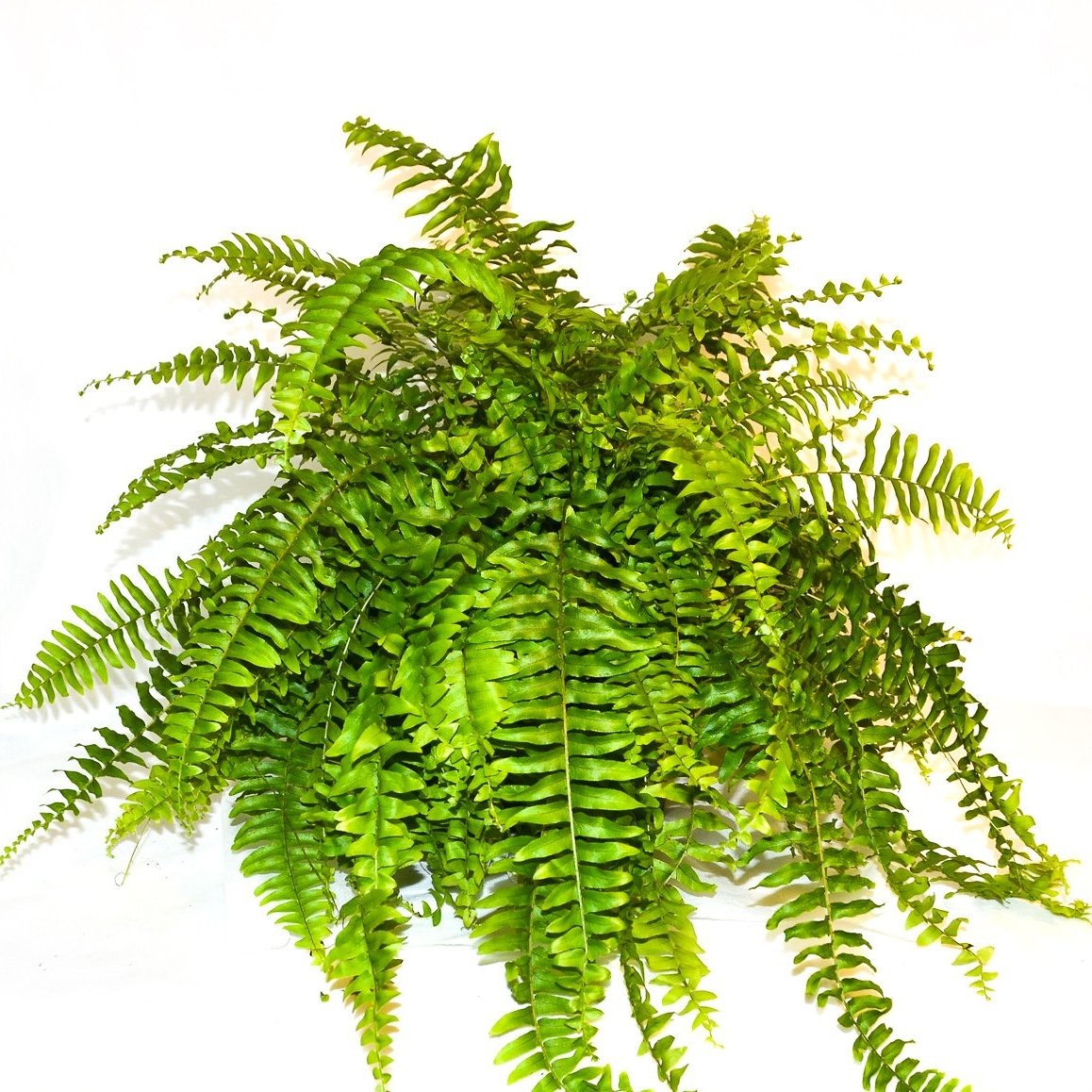 "6"" Boston Blue Bell Fern"