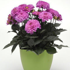 Dahlia Purple - IN STORE PICK-UP ONLY