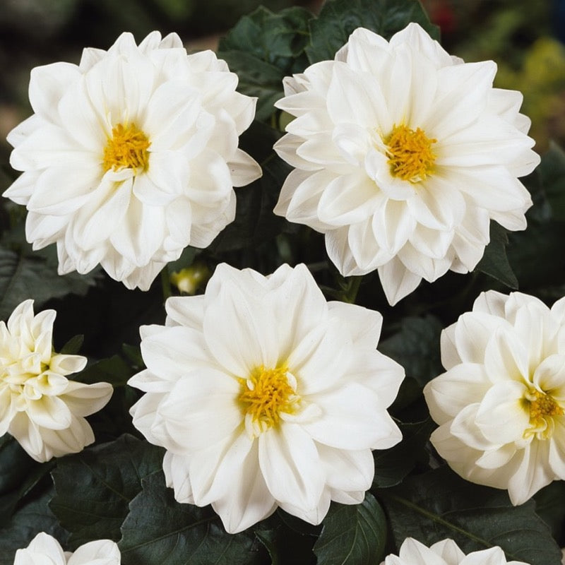 Dahlia White  9 pack  - IN STORE PICK-UP ONLY