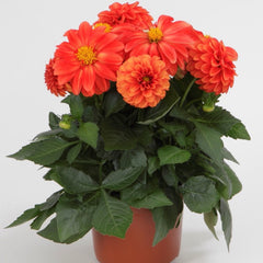 Dahlia Orange  9 pack  - IN STORE PICK-UP ONLY