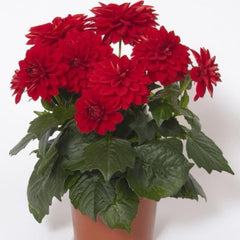 Dahlia Red - IN STORE PICK-UP ONLY