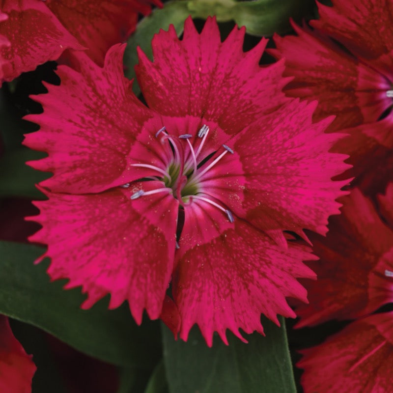 Dianthus Red - IN STORE PICK-UP ONLY