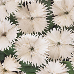 Dianthus White - IN STORE PICK-UP ONLY
