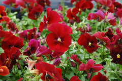 Pansy Red - IN STORE PICK-UP ONLY