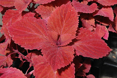 Coleus Redhead - IN STORE PICK-UP ONLY