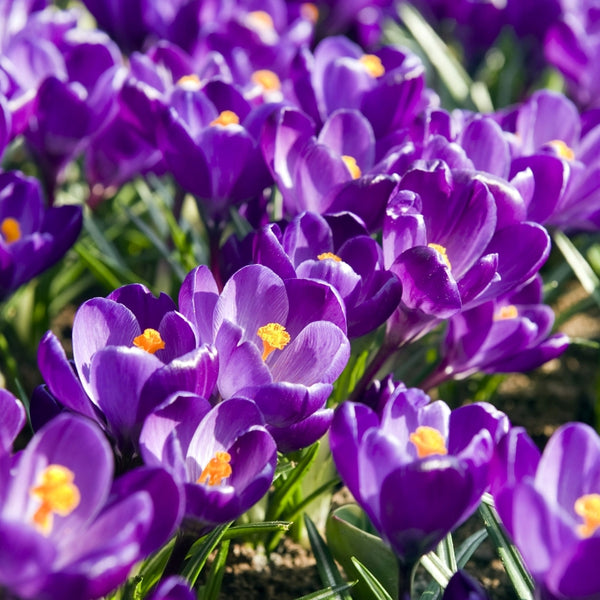 Flower Record Crocus - 20pack
