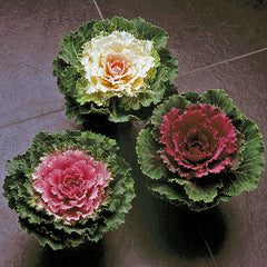 Decorative Cabbage Red - IN STORE PICK-UP ONLY