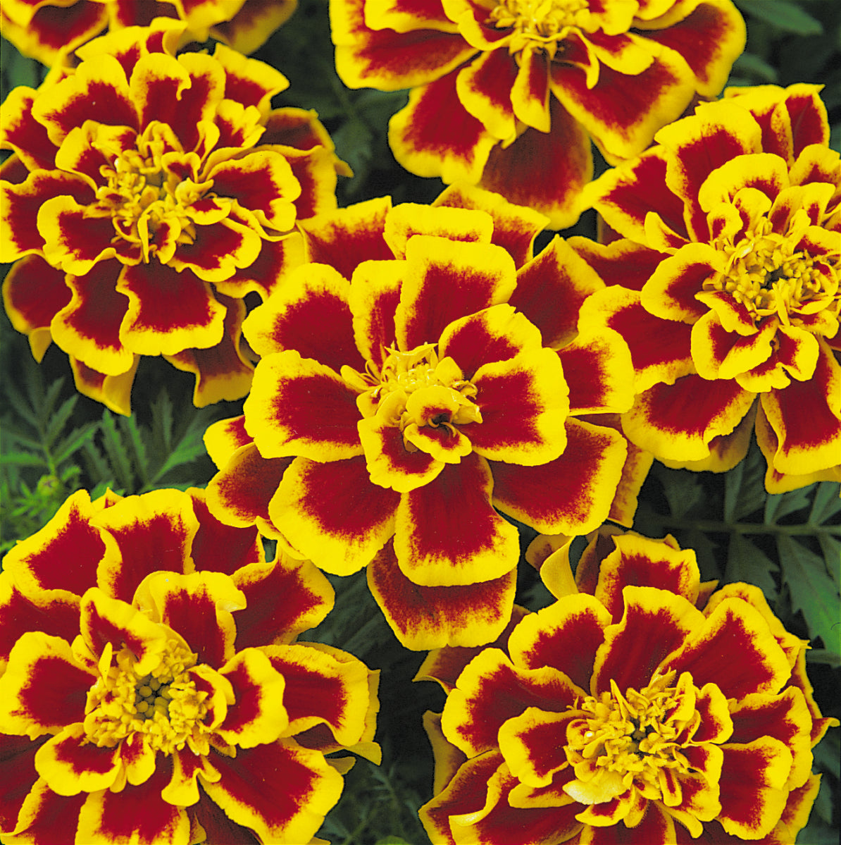 Marigold Durango Bee 9 pack- IN STORE PICK-UP ONLY