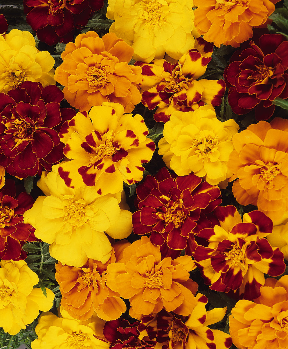 Marigold Durango Mix - IN STORE PICK-UP ONLY