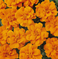 Marigold Durango Tangerine - IN STORE PICK-UP ONLY