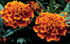 Marigold Double Orange - IN STORE PICK-UP ONLY