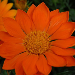 Gazania Orange - IN STORE PICK-UP ONLY