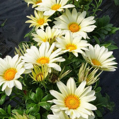 Gazania White - IN STORE PICK-UP ONLY