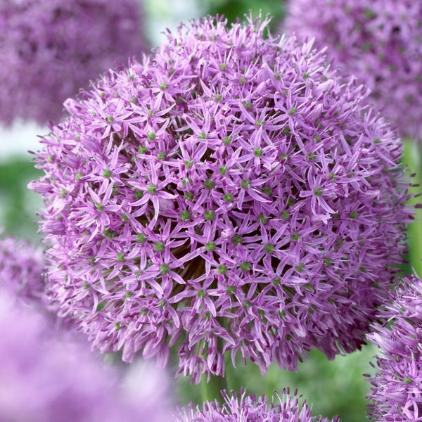 Gladiator Allium - 1pack