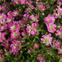 Gypsophila Pink - IN STORE PICK-UP ONLY