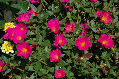 Portulaca Fuchsia - IN STORE PICK-UP ONLY