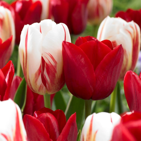 Holiday Mix Tulip - 25 pack