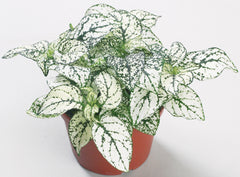 Hypoestes White - IN STORE PICK-UP ONLY