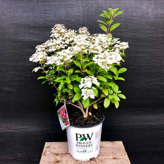 Little Quick Fire Panicle Hydrangea