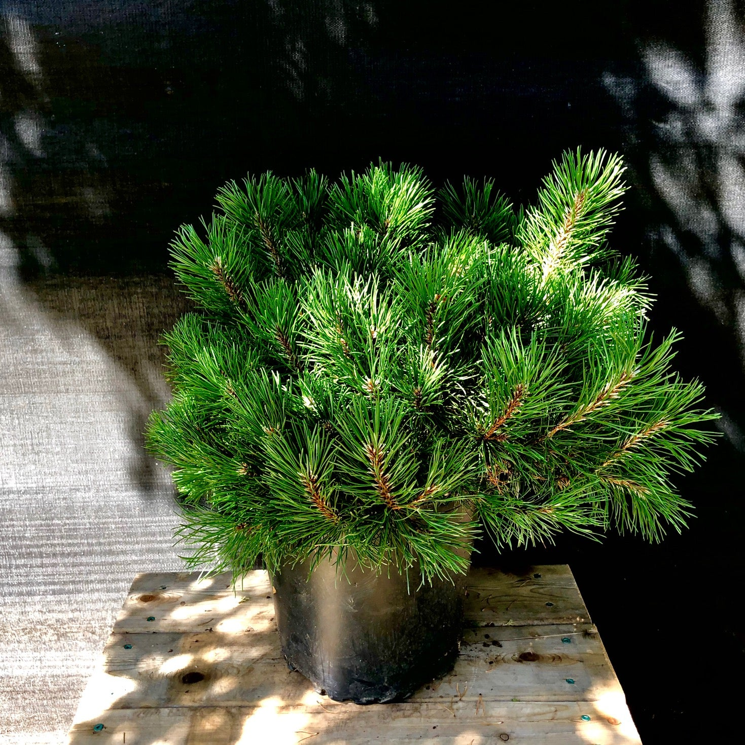 Dwarf Mugo Pine -IN STORE PICK-UP ONLY