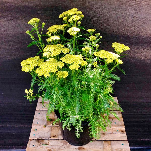 Yarrow Sunny Seduction - CURBSIDE PICKUP ONLY
