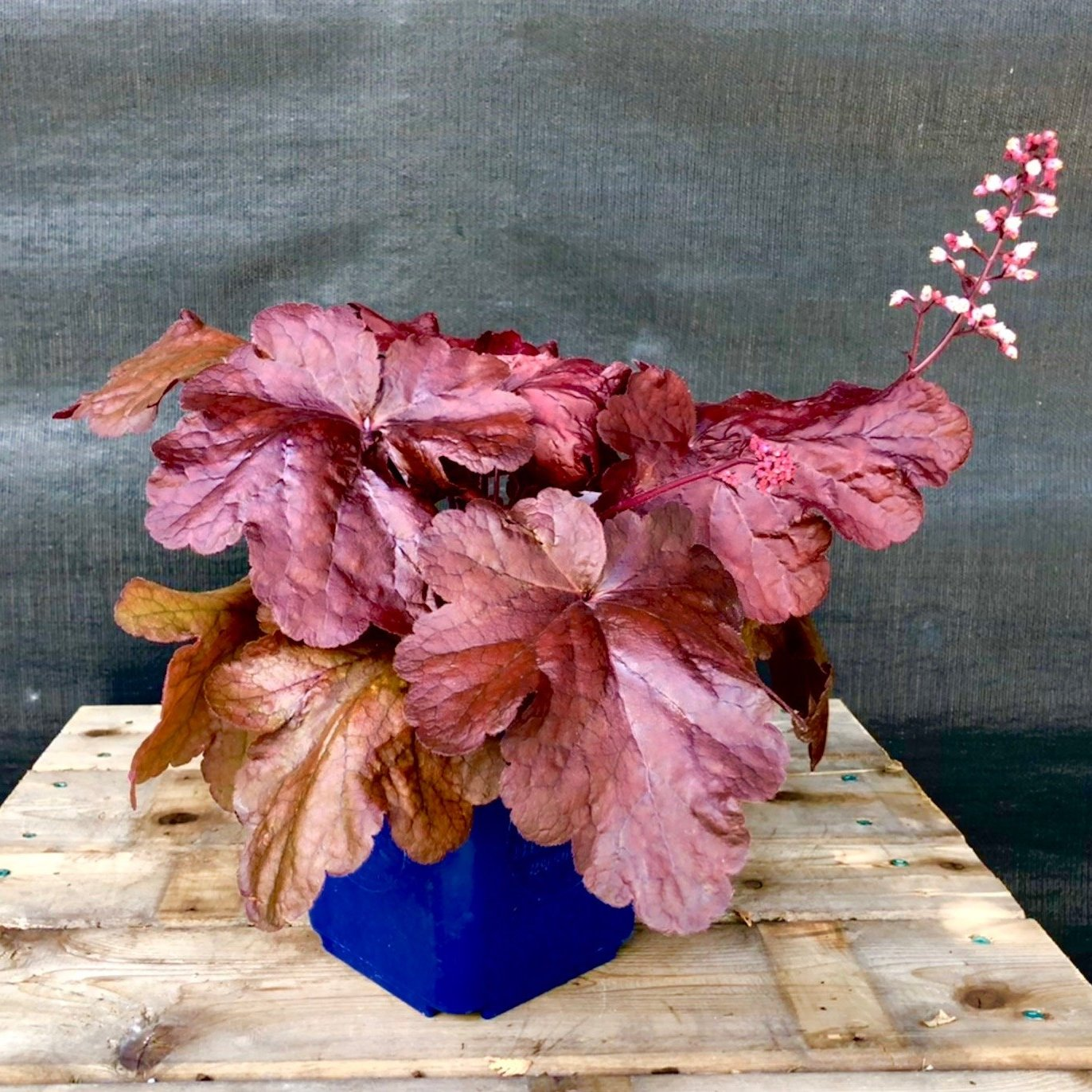 Fancy-leaf Coral Bells 'Fire Alarm'