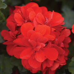 Geranium Red Ivy - IN STORE PICK-UP ONLY