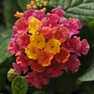 Lantana Little Lucky Hot Pink - IN STORE PICK-UP ONLY