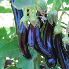 Eggplant Little Fingers  9 pack- IN STORE PICK-UP ONLY
