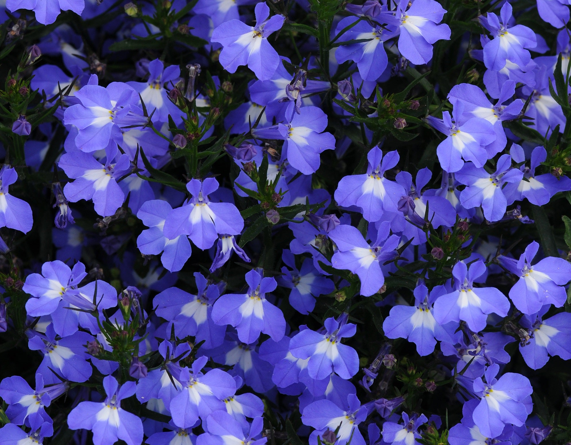 Lobelia Sky Blue Mounded In Store Pick Up Only Knippel Garden Centre