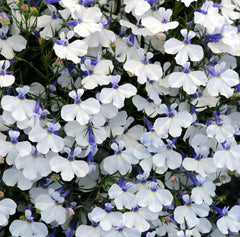 Lobelia White Mounded - IN STORE PICK-UP ONLY