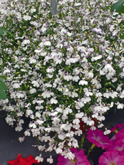 Lobelia Lilac Trailing - IN STORE PICK-UP ONLY