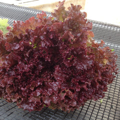 Lettuce Red 9 pack - IN STORE PICK-UP ONLY