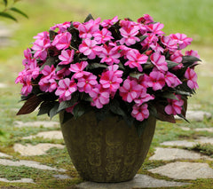 New Guinea Impatiens Purple - IN STORE PICK-UP ONLY