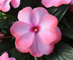 New Guinea Impatiens Pink  6 pack - IN STORE PICK-UP ONLY