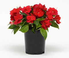 New Guinea Impatiens Red - IN STORE PICK-UP ONLY