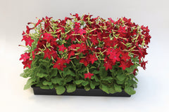 Nicotiana Red - IN STORE PICK-UP ONLY