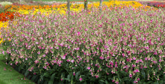 Nicotiana Pink - IN STORE PICK-UP ONLY