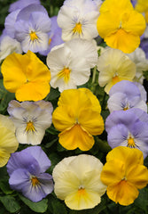 Pansy Pastel Mix - IN STORE PICK-UP ONLY