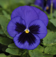 Pansy Blue Blotched - IN STORE PICK-UP ONLY