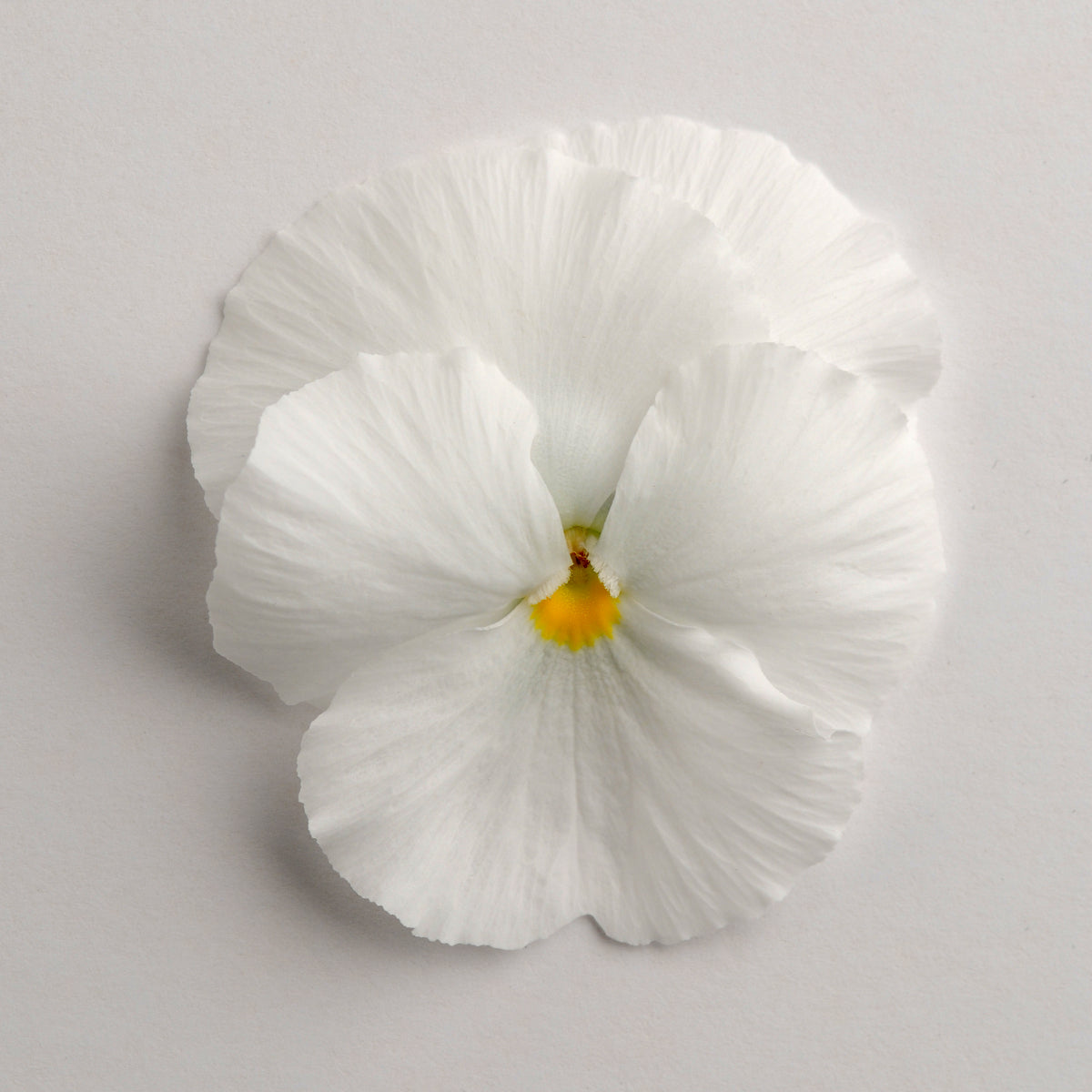 Pansy White 9 pack- IN STORE PICK-UP ONLY