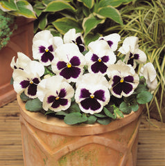 Pansy - White Blotched