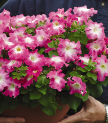 Petunia Multiflora Rose Morn 9 pack- IN STORE PICK-UP ONLY