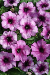 Petunia Multiflora Plum Crazy - IN STORE PICK-UP ONLY