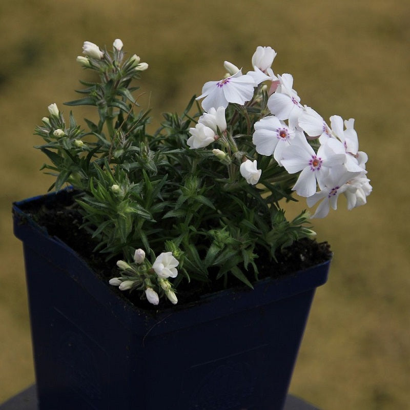 Phlox - Amazing Grace
