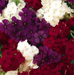 Phlox Mix - IN STORE PICK-UP ONLY